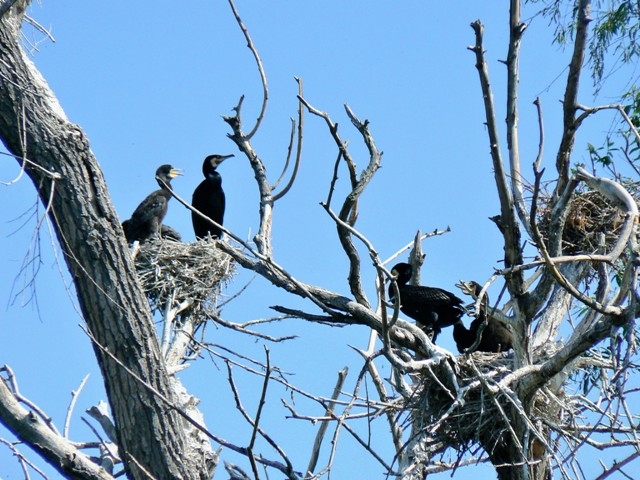 Vistula Spit, a stronghold of great cormorant. Birdwatching tours – Hit The Road Travel