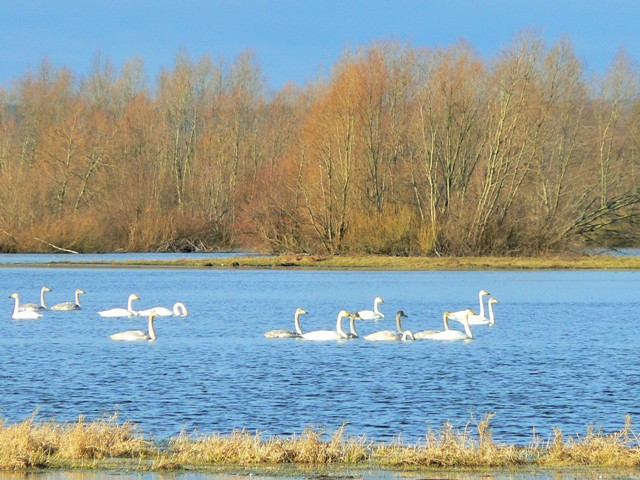 Warta River Mouth National Park, whooper swans. Birdwatching tours – Hit The Road Travel